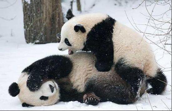 在中国成都大熊猫繁育研究基地,工作人员正抱着可爱的大熊猫